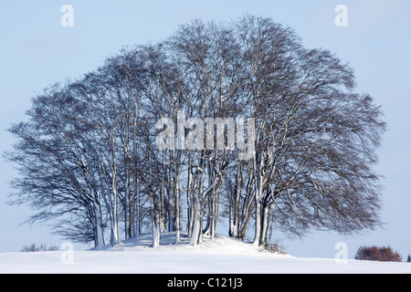 Beech trees (Fagus sylvatica), overgrowing Megalithic grave in winter, Grabau cemetery with grave mounds from the - Stock Photo