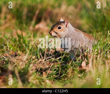 Grey Squirrel (Sciurus carolinensis) sitting enjoying the Evening Sun