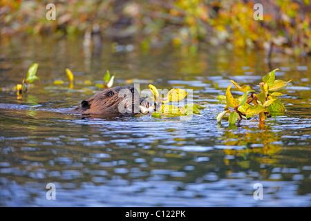 North American Beaver (Castor canadensis), eating, Denali National Park, Alaska, USA - Stock Photo