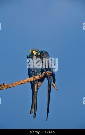 Hyacinth Macaw (Anodorhynchus hyacinthinus), pair, Pantanal, Mato Grosso, Brazil, South America - Stock Photo