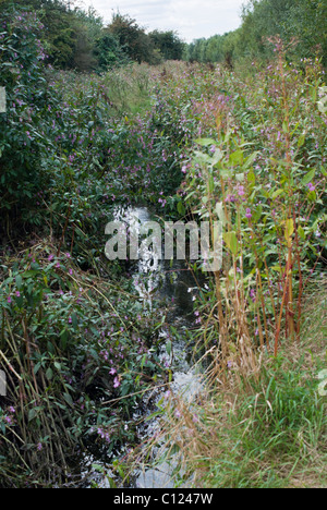 Himalayan Balsam Impatiens glandulifera - Stock Photo