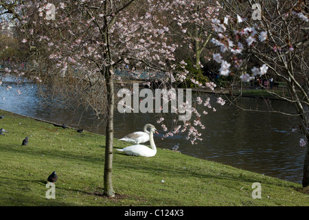 Swans Resting by the pond under a Cherry Blossom in Hyde Park Lindon - Stock Photo