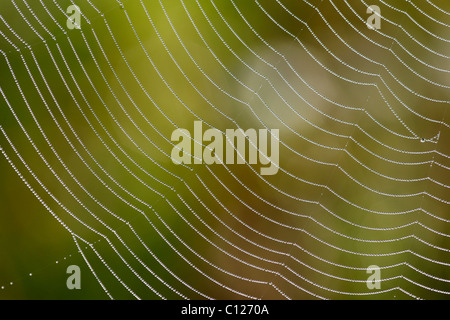 Spider web of an Araneid Spider with dew drops, Bavaria, Germany - Stock Photo