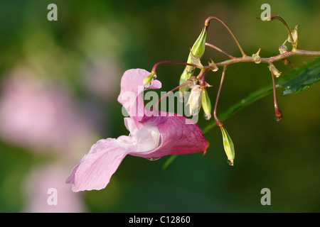 Flower and seed pod of Himalayan balsam, Indian balsam (Impatiens glandulifera), neophyte