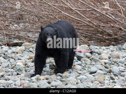 Black Bear standing at the edge of a river be in search of salmon Port Hardy Vancouver Island - Stock Photo