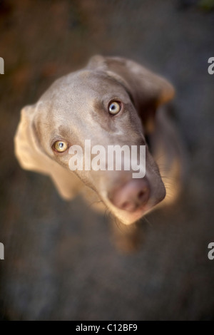 Weimaraner dog headshot - Stock Photo