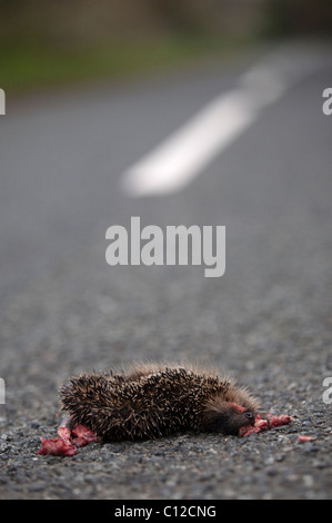 Hedgehog road kill on a country road. - Stock Photo