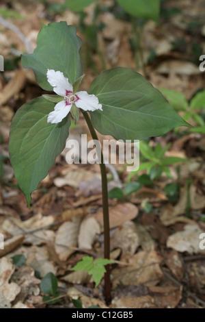 Painted trillium (Trillium undulatum) in bloom. - Stock Photo