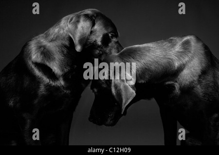 A portrait of two black labs against a black background. - Stock Photo