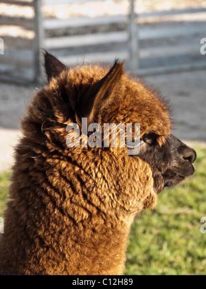 Close up of Alpaca - Vicugna pacos, a domesticated South American camelid - on an alpaca farm.