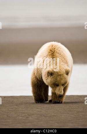 A coastal brown bear searches  for razor clams at low tide. - Stock Photo