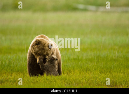 Grizzly mother and cub share a tender moment. - Stock Photo