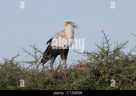 Stock photo of a secretary bird perched on top of an acacia tree. - Stock Photo