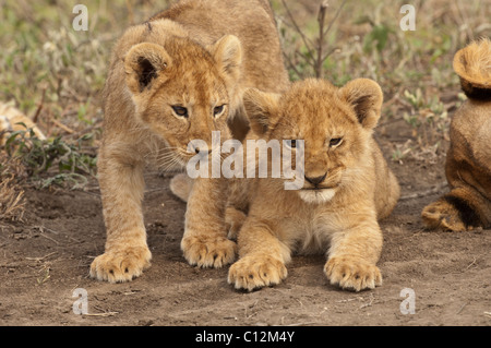 Stock photo of two lion cubs next to eachother. - Stock Photo