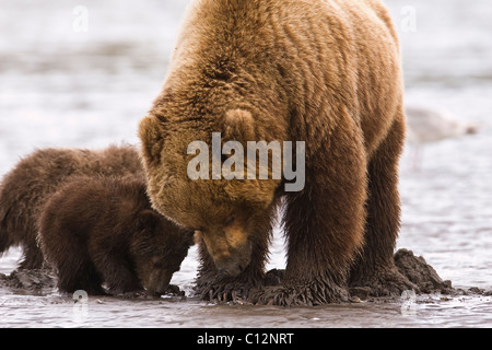 Brown bear mother and cubs dig for razor clams on the shores of Cook Inlet in Lake Clark National Park Alaska, June - Stock Photo