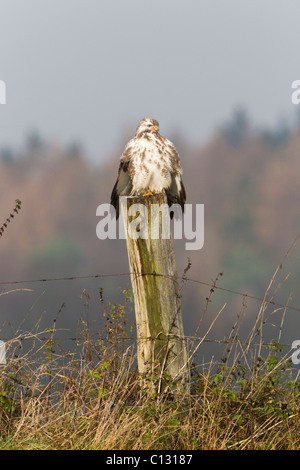 Common Buzzard (Buteo buteo), perched on fence post, sunbathing - Stock Photo