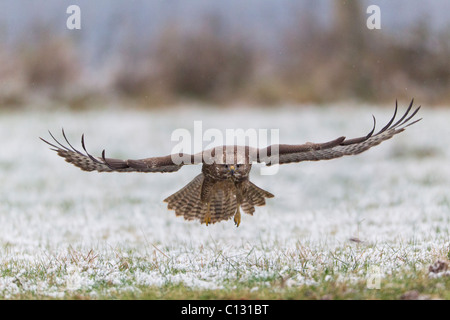 Common Buzzard (Buteo buteo) in flight over snow covered field - Stock Photo