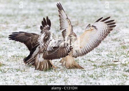 Common Buzzard (Buteo buteo), three fighting over food in winter - Stock Photo