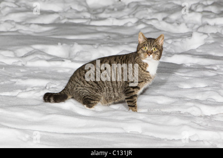 Domestic Cat, sitting in snow covered garden - Stock Photo
