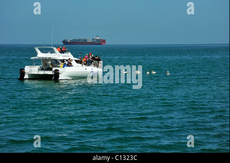 Scene of tourist group on boat viewing Pelicans swimming in Walvisbay harbour Namibia Travel Vacations seascapes - Stock Photo