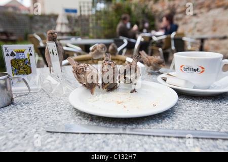 House Sparrow (Passer domesticus), flock, feeding on table in cafeteria garden, Northumberland, England - Stock Photo