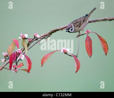 Tree Sparrow (Passer montanus), on flowering Viburnum branch, autumn, Lower Saxony, Germany - Stock Photo