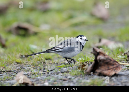 White or Pied Wagtail (Motacilla alba), perched on track, autumn, Northumberland, England - Stock Photo