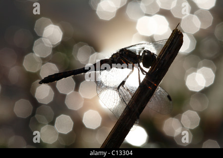 Male Black Darter Dragonfly (Sympetrum danae) on a territorial perch beside a pond. Powys, Wales, UK. - Stock Photo
