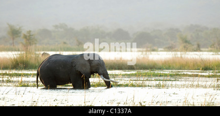 African Bush Elephant (Loxodonta africana) walking in water Mana Pools National Park, Zimbabwe - Stock Photo