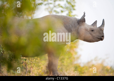 Rhinoceros portrait, Rhino Island, Lake Kariba, Mutasadona National Park, Zimbabwe - Stock Photo
