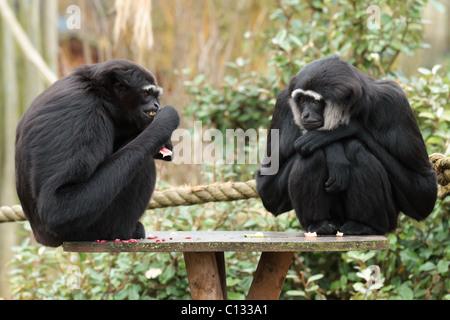 2 Agile Gibbons at feeding time at Bristol Zoo. - Stock Photo