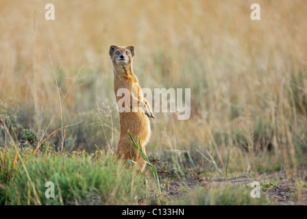 Yellow Mongoose (Cynictis penicillata) looks out for danger, Mountain Zebra National Park, Eastern Cape Province, - Stock Photo
