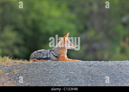 Black-backed Jackal (Canis mesomelas) resting on road, Mountain Zebra National Park, Eastern Cape Province, South - Stock Photo