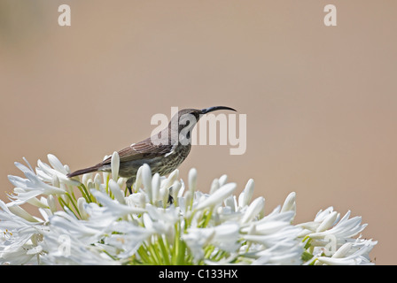 Female Greater Double-collared Sunbird Cinnyris afer feeding on Agapanthus flower in Outeniqua Mountains Western - Stock Photo