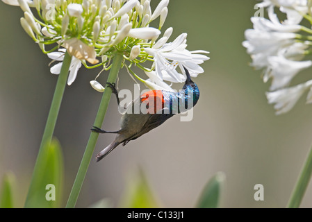 Male Greater Double-collared Sunbird Cinnyris afer feeding on Agapanthus flower in Outeniqua Mountains Western Cape - Stock Photo