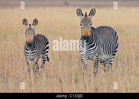 Plains zebra (Equus quagga) with foal in grasslands, Mountain Zebra National Park, Eastern Cape Province, South - Stock Photo