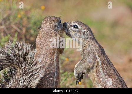Ground squirrel grooms its mate, Mountain Zebra National Park, Eastern Cape Province, South Africa - Stock Photo