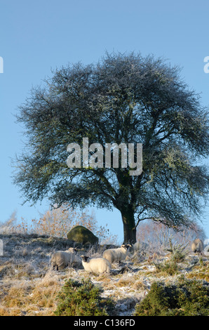 small gathering of sheep under a mature oak tree in snowy winter conditions - Stock Photo