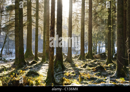 Radiant sun shining through trunks of mature pine forest in misty and frosty conditions - Stock Photo