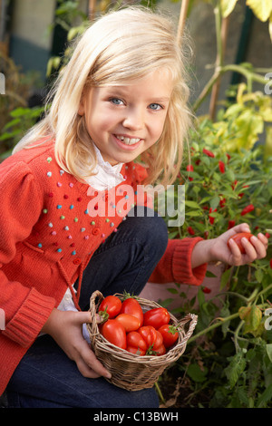 Young child harvesting tomatoes - Stock Photo