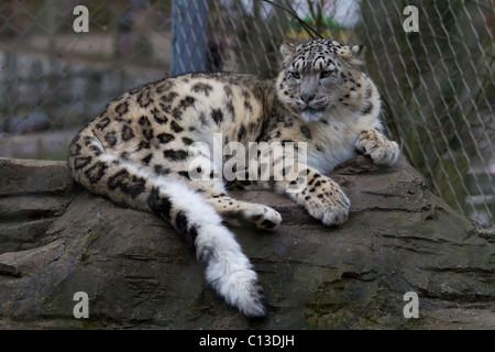 A snow leopard lying down on a rock. Taken at Marwell Wildlife Zoo - Stock Photo