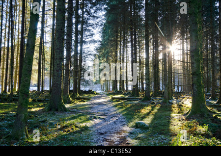Sun streaming through mature conifer plantation in frosty conditions - Stock Photo