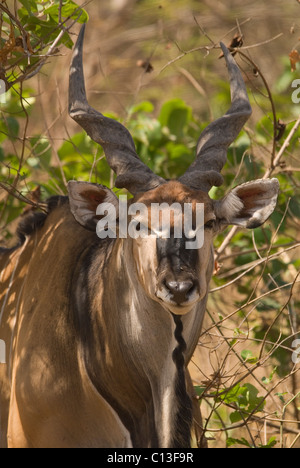 Giant eland (Taurotragus derbianus) also known as Lord Derby eland  Fathala Game Reserve Northern Senegal - Stock Photo
