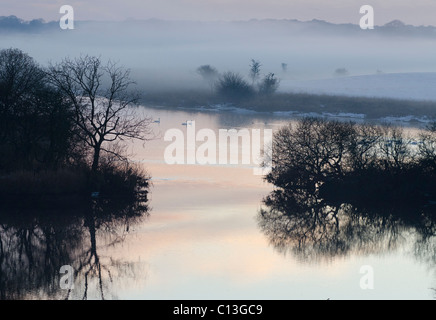 Three Whooper Swans swimming on River Dee on Threave Estate, Galloway among islets in mist at dusk with tree  sillhouettes - Stock Photo