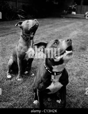 Two Staffordshire bull terriers sitting in a garden - Stock Photo