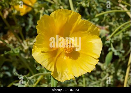 Yellow horned Poppy, Glaucium Flavium , Syros Greece - Stock Photo