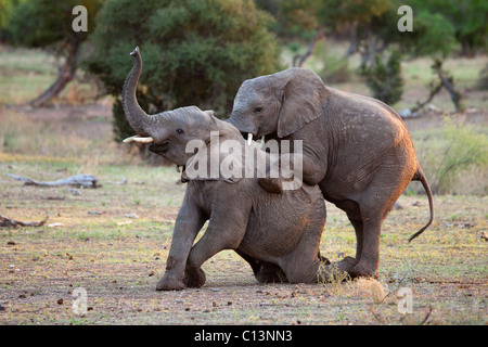 African Elephant (Loxodonta africana). Two immature male elephants practicing through play. - Stock Photo