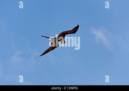 Immature Magnificent Frigatebird Flying High. A young Magnificent Frigatebird glides through the blue sky. - Stock Photo