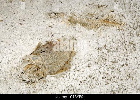 Fish skeletons in the sediment of the Salton Sea, California. - Stock Photo