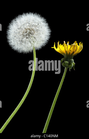 Two dandelions – blooming and dried, isolated on black - Stock Photo